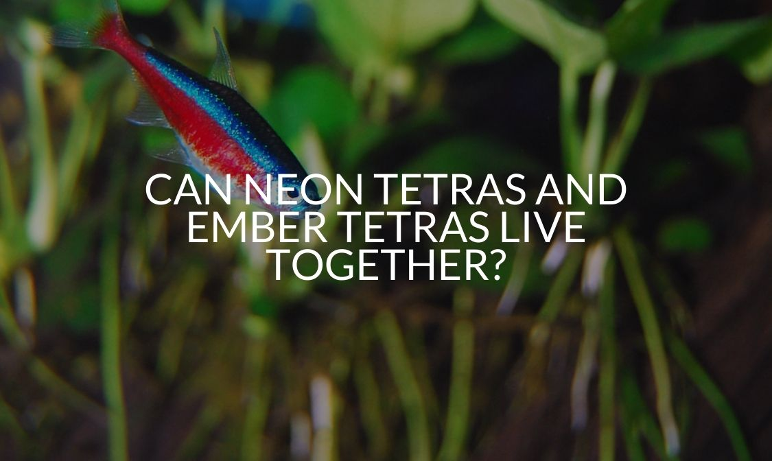Can Neon Tetras And Ember Tetras Live Together