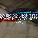 How Big Do Neon Tetras Get? (And How To Increase Size)