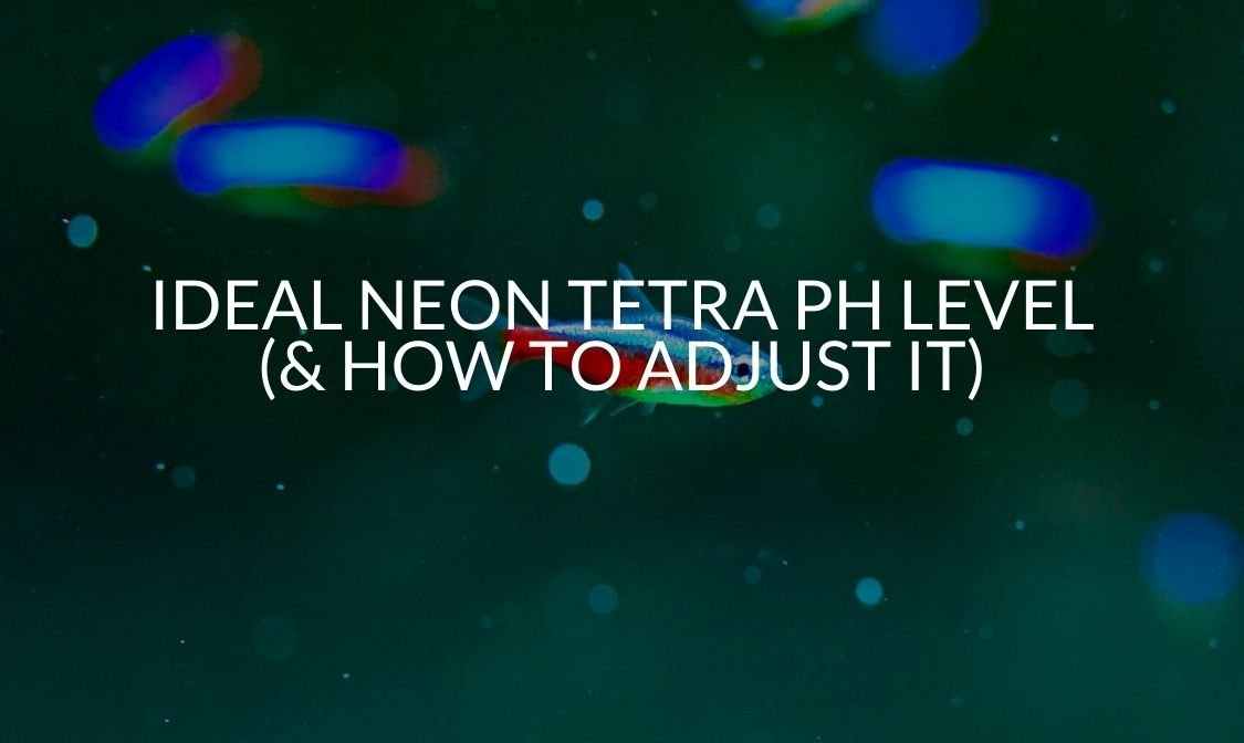 Ideal Neon Tetra pH Level (& How To Adjust It)