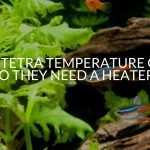 Neon Tetra Temperature Guide (Do They Need A Heater?)
