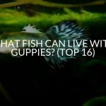 What Fish Can Live With Guppies? (Top 16)