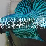Betta Fish Behavior Before Death (When To Expect The Worst)