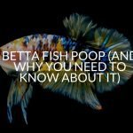 Betta Fish Poop (And Why You Need To Know About It)