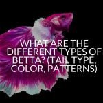 What Are The Different Types Of Betta? (Tail Type, Color, Patterns)