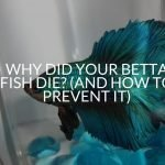 Why Did Your Betta Fish Die? (And How To Prevent It)