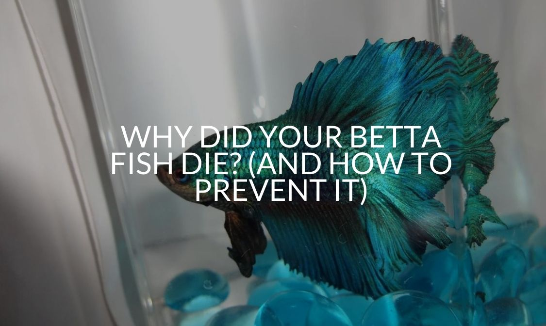 Why Did Your Betta Fish Die (And How To Prevent It)