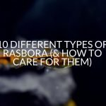 10 Different Types Of Rasbora (& How To Care For Them)
