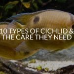 10 Types Of Cichlid & The Care They Need