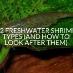 12 Freshwater Shrimp Types (And How To Look After Them)
