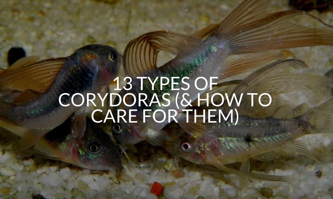 13 Types Of Corydoras (& How To Care For Them)