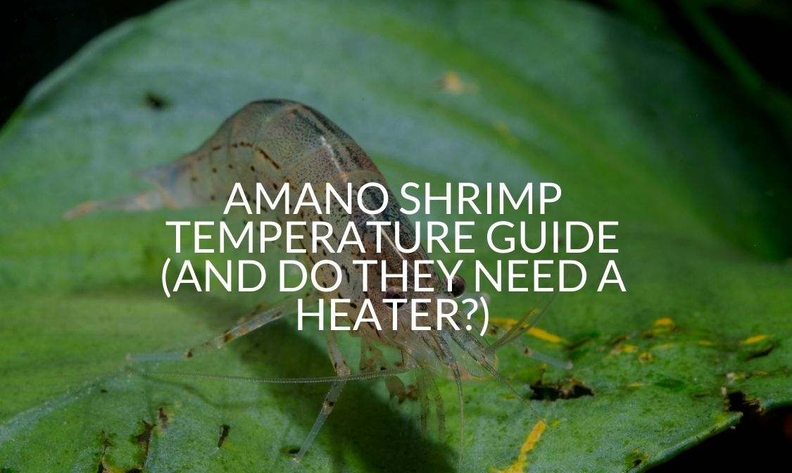 Amano Shrimp Temperature Guide (And Do They Need A Heater)
