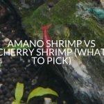 Amano Shrimp Vs Cherry Shrimp (What To Pick)