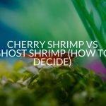Cherry Shrimp Vs Ghost Shrimp (How To Decide)