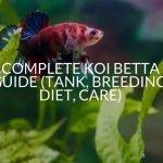 Complete Koi Betta Guide (Tank, Breeding, Diet, Care)
