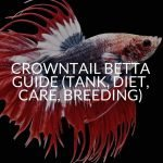 Crowntail Betta Guide (Tank, Diet, Care, Breeding)