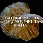 Halfmoon Betta Guide (Care, Diet, Tank Mates)