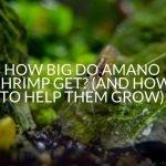 How Big Do Amano Shrimp Get? (And How To Help Them )