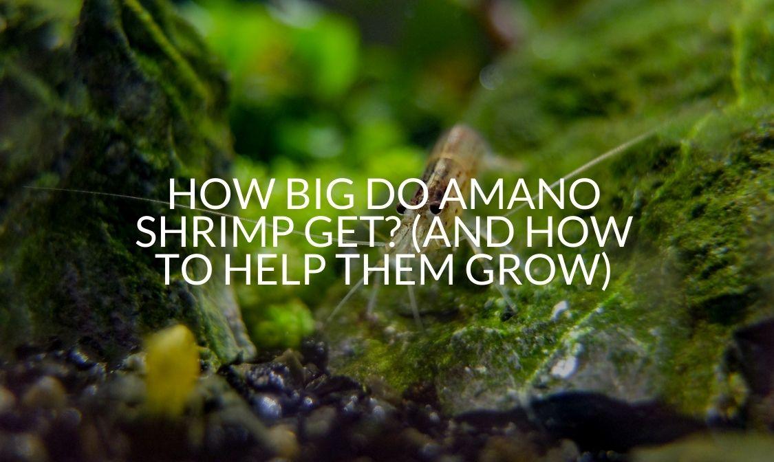 how big do amano shrimp get