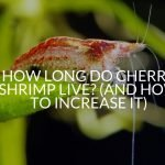 How Long Do Cherry Shrimp Live? (And How To Increase It)