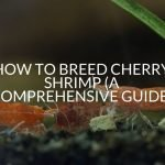 How To Breed Cherry Shrimp (A Comprehensive Guide)