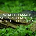 What Do Amano Shrimp Eat (And The Ideal Diet For Them)