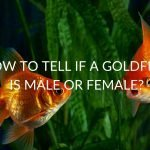 How To Tell If A Goldfish Is Male Or Female?