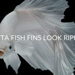 9 Reasons Your Betta Fish's Fins Look Ripped