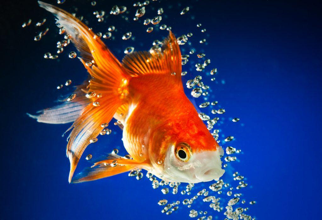 goldfish in dark blue water
