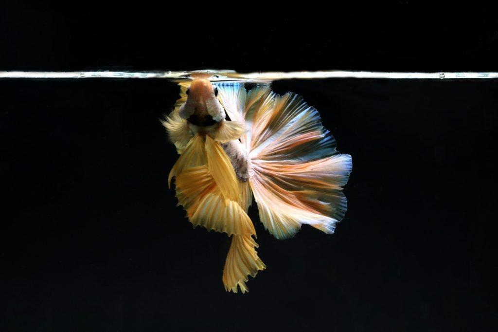 Betta fish eating