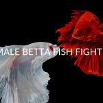 4 Reasons Your Female Bettas Are Fighting (& 7 Ways To Stop It)