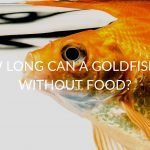 How Long Can A Goldfish Go Without Food? (& What To Consider)