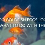 What Do Goldfish Eggs Look Like (& What To Do With Them)