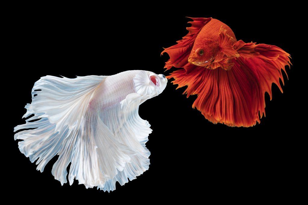 Rhythmic of two betta splendens fighting fish over isolated black